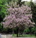 Paulownia Tomentosa  Balení obsahuje 200 semen