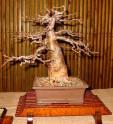Baobab - Adansonia digitata   Balení obsahuje 3 semena
