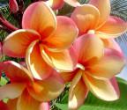 Plumeria Frangipani Imperial Topaz   Balení obsahuje 3 semena