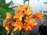 Plumeria Frangipani Orange    Balení obsahuje 3 semena