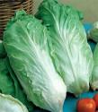 Čekanka salátová Pan di Zucchero Balení obsahuje 50 semen