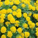 Aksamitník rozkladitý Lemon Drop Balení obsahuje 50 semen