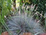 Modrá tráva - Festuca Glauca   Balení obsahuje 80 semen