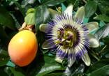 Passiflora Caerulea - Mučenka modrá Balení obsahuje 10 semen