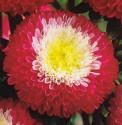 Astra čínská Pompon red and white Balení obsahuje 100 semen