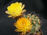 Kaktus Acanthocalycium glaucum LF 38 sev.od Belen Balení obsahuje 20 semen