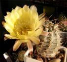 Kaktus Acanthocalycium griseum P 144 Punta Ballasto Balení obsahuje 20 semen