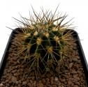 Kaktus Acanthocalycium griseum P 49 Balení obsahuje 20 semen