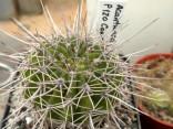 Kaktus Acanthocalycium klimpelianum P 120 Balení obsahuje 20 semen