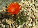 Kaktus Acanthocalycium munitum WR 772 dlouhé trny Balení obsahuje 20 semen