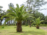 2 x naklíčené semeno Palma Phoenix canariensis