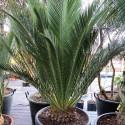 1 x naklíčená semena Cycas Macrozamia communis