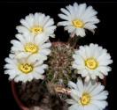 Kaktus Acanthocalycium spiniflorum LB 311 Sierra Del Moro Balení obsahuje 20 semen