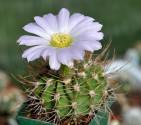 Kaktus Acanthocalycium violaceum P 110 Balení obsahuje 20 semen