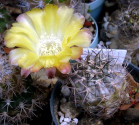 Kaktus Acanthocalycium sp. FR 148 Balení obsahuje 20 semen