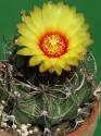 Kaktus Astrophytum capricorne Balení obsahuje 20 semen