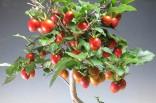 3 naklíčená semena Diospyros (Tomel) rhombifolia