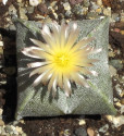 Kaktus Astrophytum myriostigma var. quadricostatum Balení obsahuje 20 semen