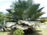 Naklíčené semeno Palma Copernicia baileyana