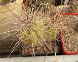 Kaktus Echinocereus enneacanthus SB 676 Balení obsahuje 20 semen