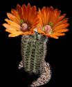 Kaktus Echinocereus lloydii SB 731 Pecos Texas Balení obsahuje 20 semen