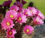 Kaktus Echinocereus roetteri Balení obsahuje 20 semen