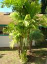 2 Naklíčená semena Palma Ptychosperma macarthurii