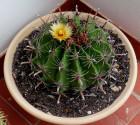 Kaktus Ferocactus herrerae Balení obsahuje 20 semen