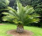 1 x naklíčená semena palma Jubaea Chilensis
