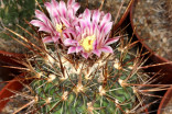 Kaktus Echinofossulocactus obvallatus Balení obsahuje 20 semen