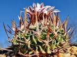 Kaktus Echinofossulocactus phyllacanthus Balení obsahuje 20 semen