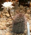 Kaktus Echinopsis leucantha San Blas Balení obsahuje 20 semen