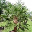 3 naklíčená semena Palma Trachycarpus fortunei Naini Tal