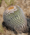 Kaktus Eriosyce aurata Balení obsahuje 20 semen