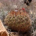 Kaktus Eriosyce ceratistes Fray Jorge Balení obsahuje 20 semen