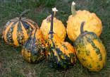 Tykev okrasná - Z Bradavic Balení obsahuje 5 semen