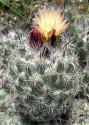 Kaktus Coryphantha durangensis Rodeo Nazas Balení obsahuje 20 semen