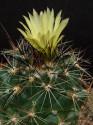 Kaktus Coryphantha gladispina DJF 757.45 Balení obsahuje 20 semen