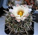 Kaktus Coryphantha guerkeana Valparaíso, Zacatecas Balení obsahuje 20 semen