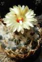 Kaktus Coryphantha retusa Balení obsahuje 20 semen