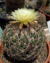 Kaktus Coryphantha reduncuspina Balení obsahuje 20 semen