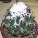 Kaktus Coryphantha tripugionacantha Los Moros Balení obsahuje 20 semen