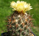 Kaktus Coryphantha kracikii IDD 068/03 Balení obsahuje 20 semen