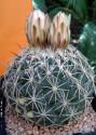 Kaktus Coryphantha pallida IDD 5/01 Tecamachalco Pueblo Balení obsahuje 20 semen