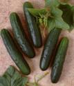 Okurka salátová Palomar Balení obsahuje 30 semen