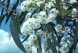 Eucalyptus Pauciflora - Blahovičník Balení obsahuje 40 semen
