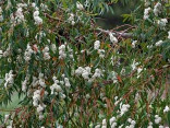 Mrazuvzdorný duhový eucalyptus Coccifera  Balení obsahuje 40 semen