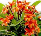 Plumeria Frangipani Coral Orange   Balení obsahuje 3 semena