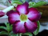 Adenium Obesum Siam violet  Balení obsahuje 5 semen
