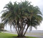 3 naklíčená semena palma Phoenix reclinata – Datlovník senegalský